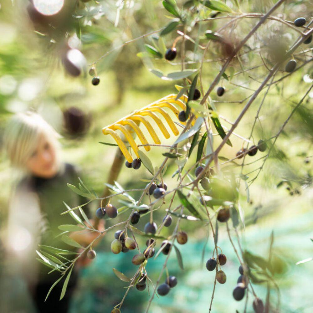 Villa Montecastello raccolta delle olive