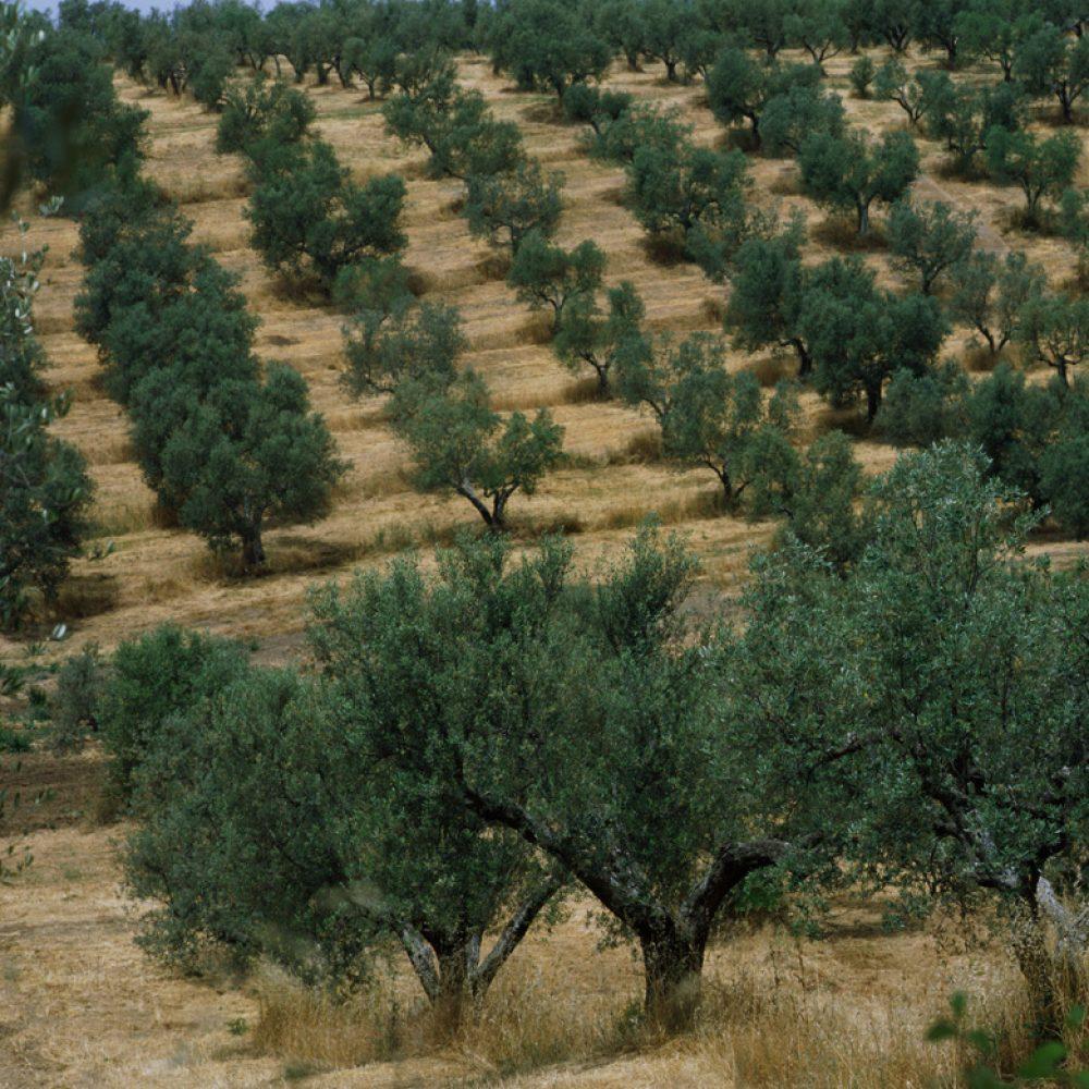 oliveto-il-molino
