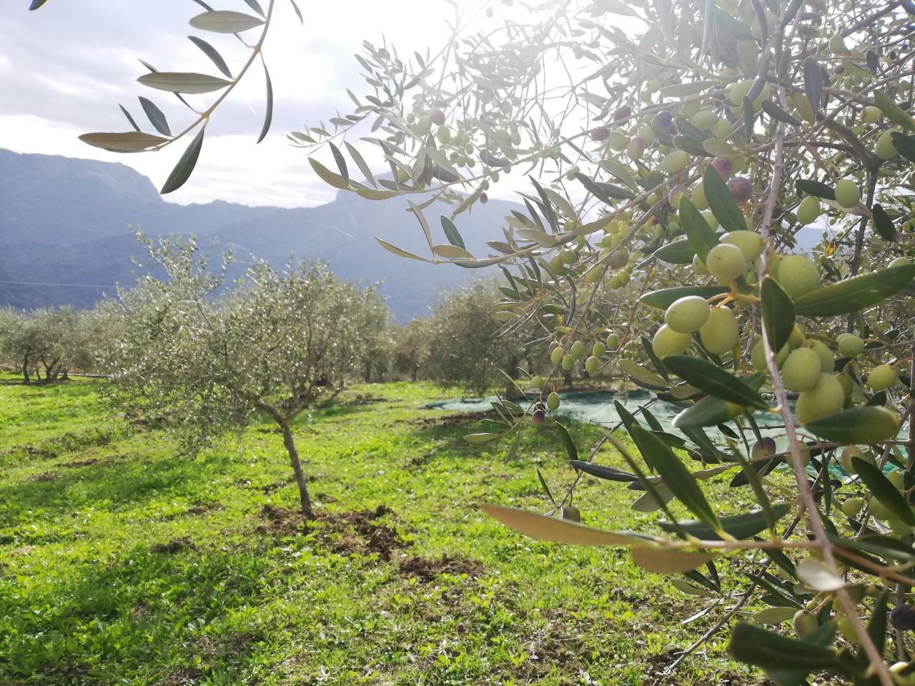 Camminata fra gli ulivi