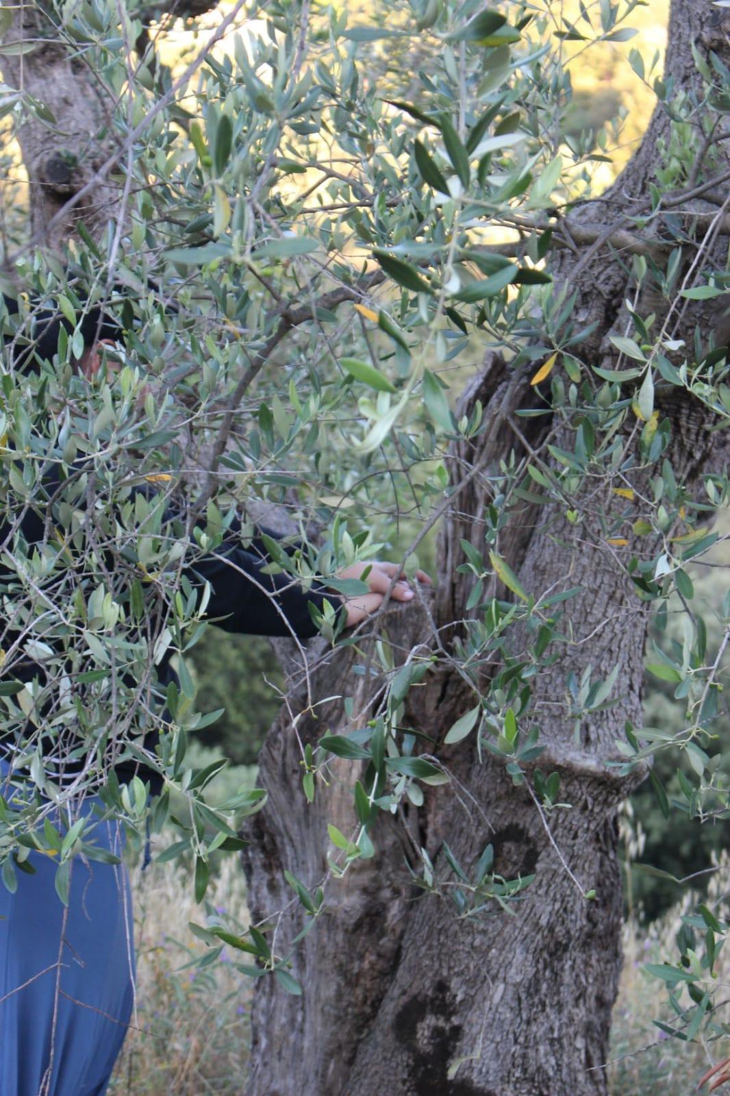 Alla scoperta dell'olivo: passeggiata sensoriale con degustazione di olio