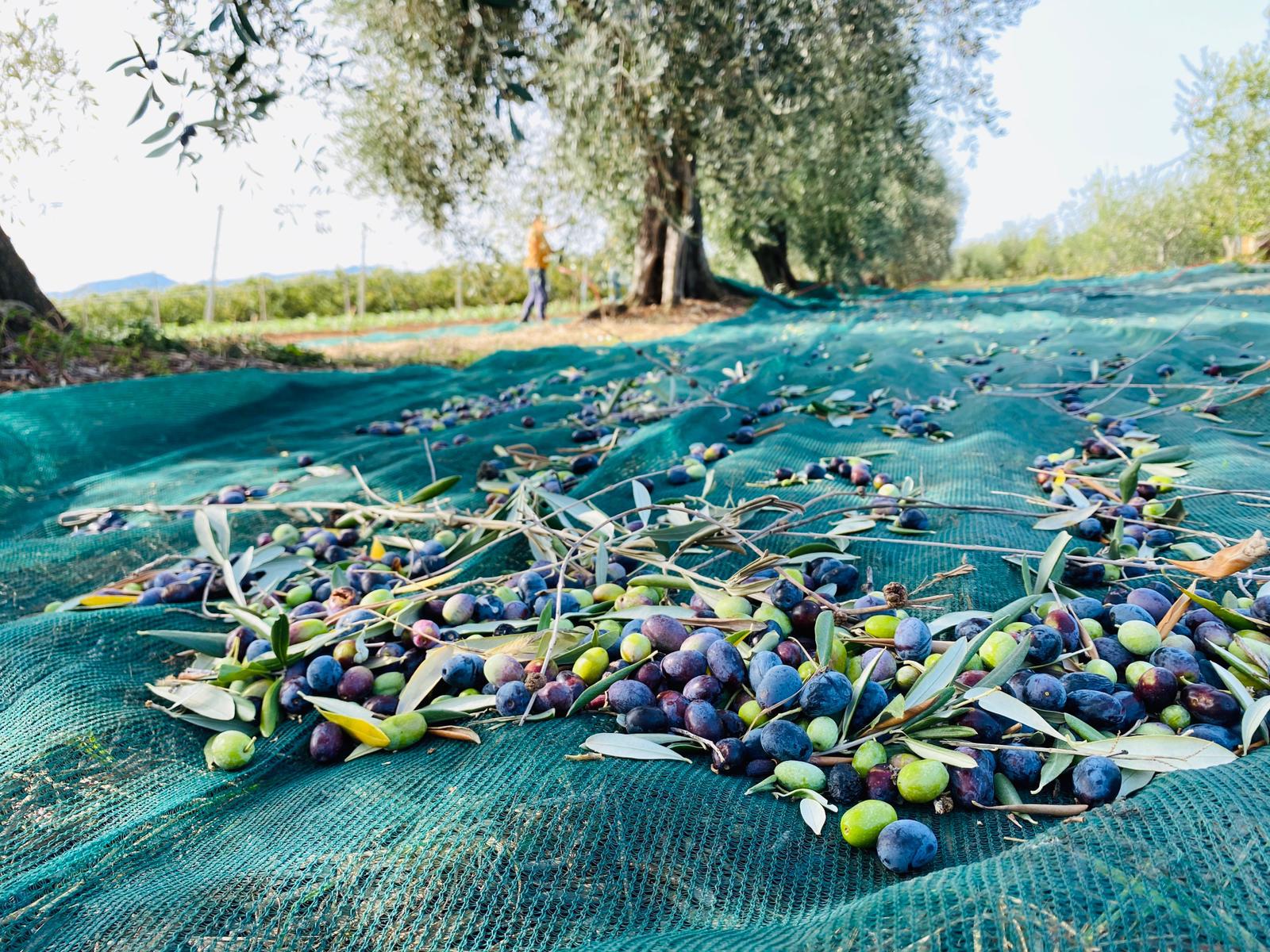 La raccolta delle olive in agriturismo